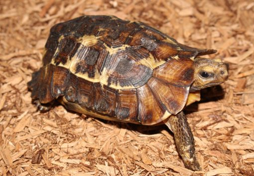 hingeback tortoise for sale