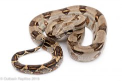 Longicauda boa for sale