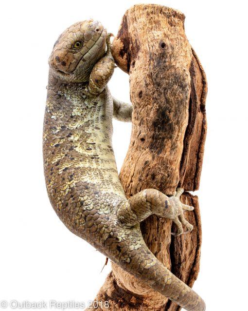 prehensile tail monkey skink