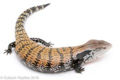 sorong blue tongue skink