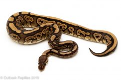 Black Pastel Red Stripe ball python
