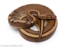 paradox red stripe genetic stripe ball python for sale