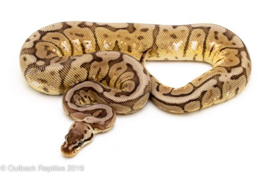 Black pewter Bee Red Stripe ball python