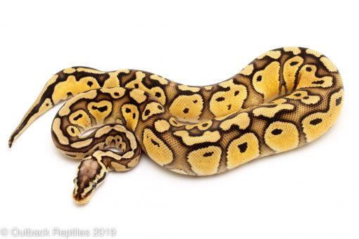 Pastel Red Stripe ball python