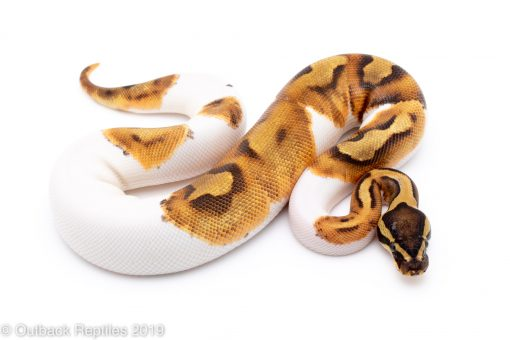 enchi pied ball python