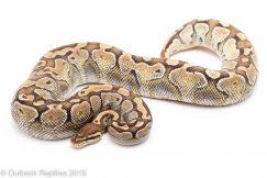 adult lesser platinum ball python