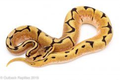 orange dream spider ball python
