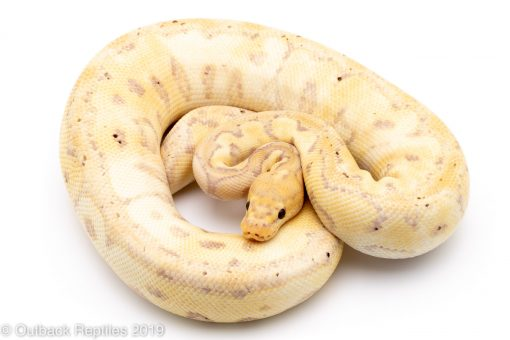 pastel banana clown ball python