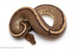 red stripe g-stripe ball python for sale