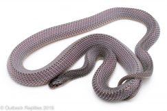African file snake