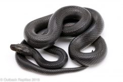 African House Snake