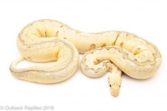 Killer bee clown ball python