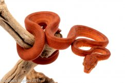 red amazon tree boa