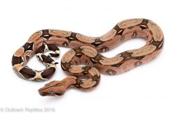 Pink Suriname Redtail Boa