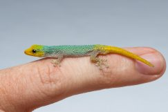 Lygodactylus conraui dwarf gecko