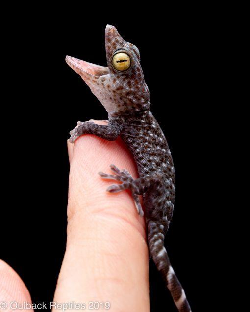 CB baby tokay gecko