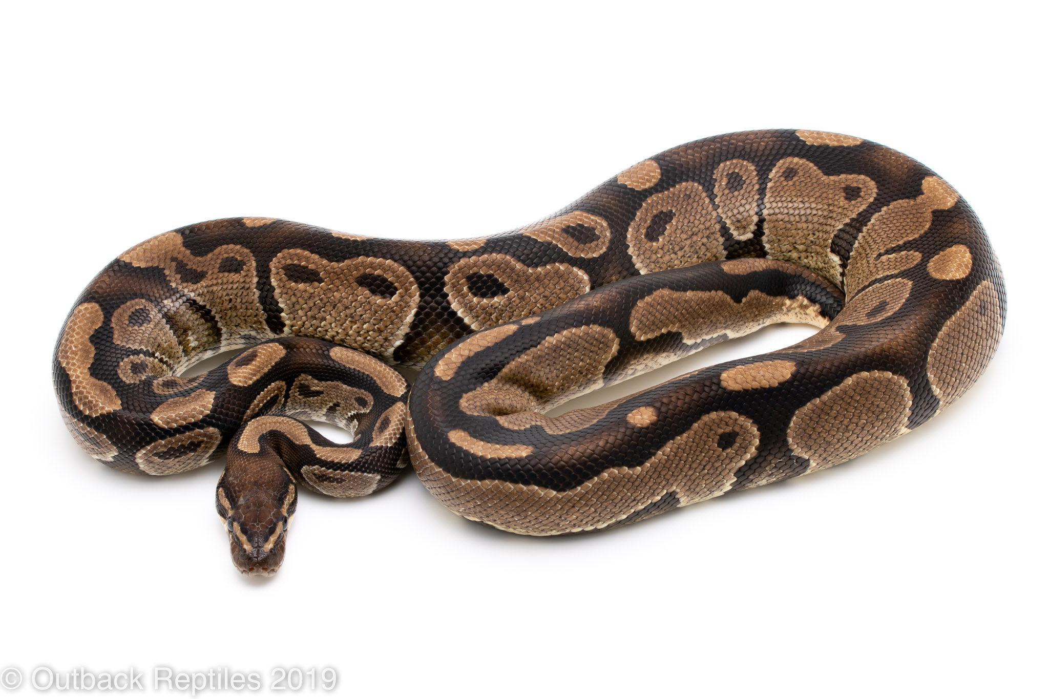 DH VPI Pied male 1 | Outback Reptiles