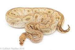Mojave Clown ball python