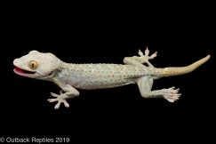 Emerald Tokay gecko morph