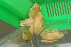 banana reed frog