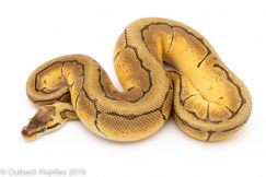 Orange Dream Enchi Lemonblast Ball Python