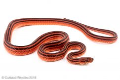 bothropthalmus lineatus red and black striped snake