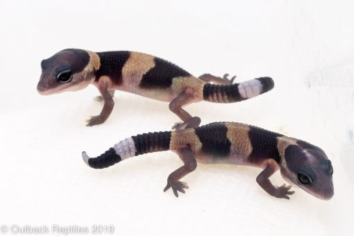 Baby Fat Tail Gecko