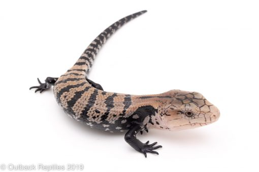 Halmahera Blue Tongue Skink Baby