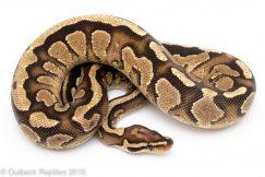 Spark Fire ball python
