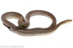 Macklotts Python