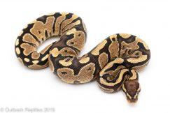 Lace ball python