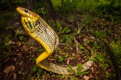 Puffing Snake Spilotes sulphureus