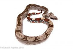 Striped Guyana redtail boa