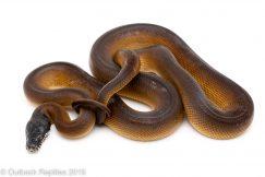 White Lipped Python
