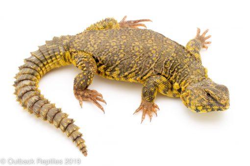 Yellow Saharan uromastyx geryi
