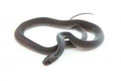 baby file snake