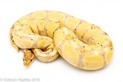 Female Banana ball python for sale