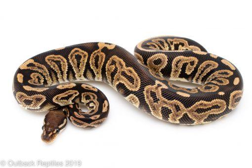 Black pastel ball python