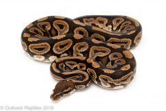 black pastel yellowbelly het pied