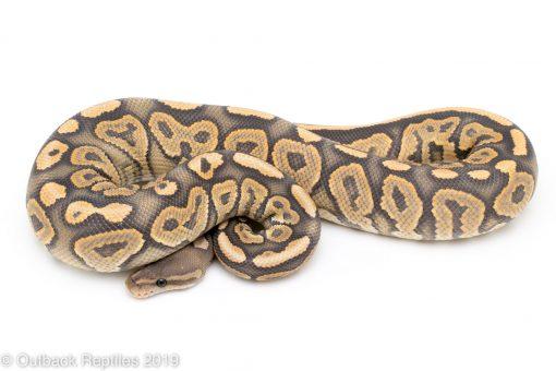 ghost black pastel ball python