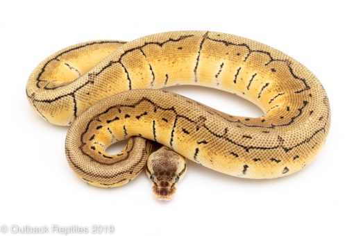 lemon blast lace ball python