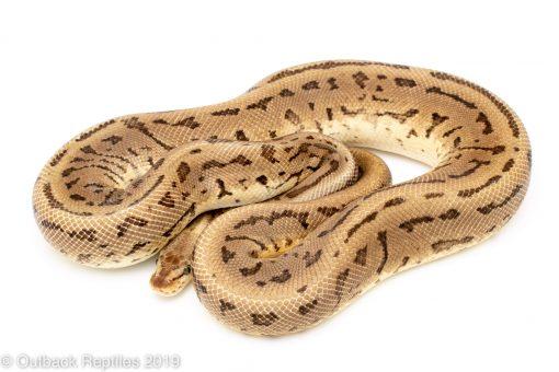 Leopard lemon blast ball python for sale