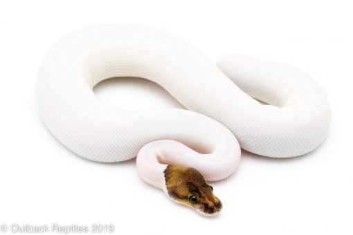 Pewter Pied ball python for sale