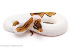 russo pied ball python for sale