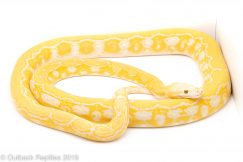 Blonde Tiger Reticulated Python