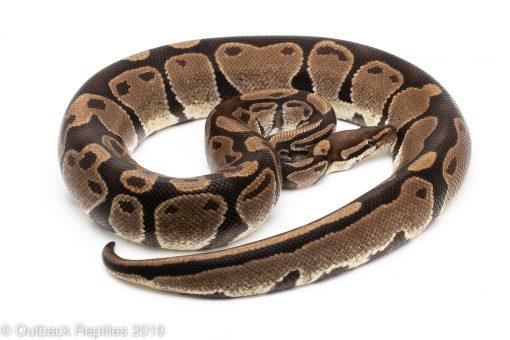 Ball pythons for sale.