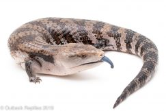Irian Jaya Blue Tongue Skink