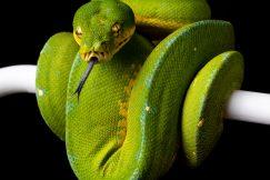Jayapura green tree python