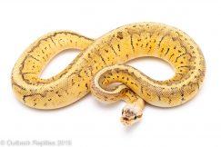 Killer Blast ball python