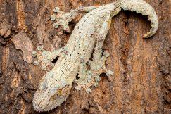 Mossy leaf tail gecko